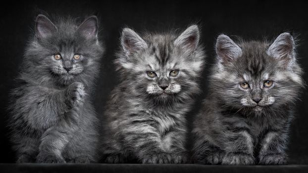 Photo free kittens, gray, small