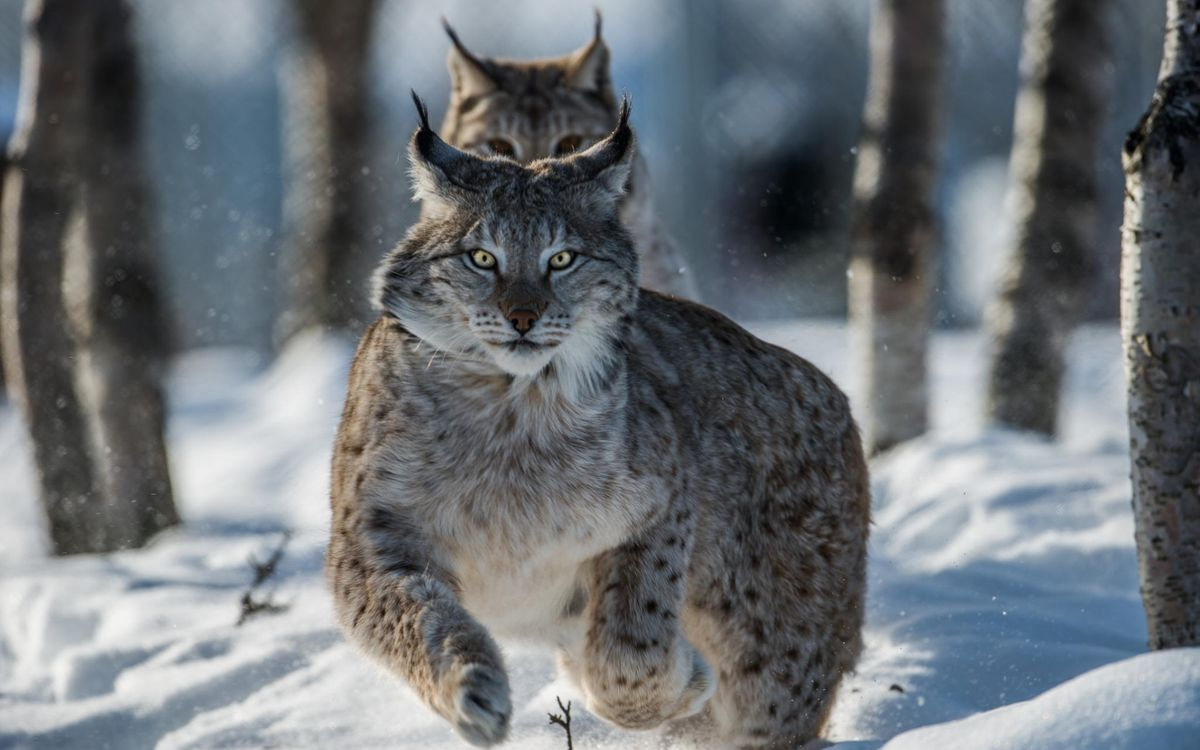 Фото бесплатно рысь, бег, снег, лес, деревья, животные