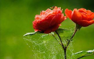 Бесплатные фото цветочки,лепестки,красные,насекомое,паутина,стебель,листья