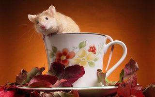 Заставки грызун, мышь, морда, шерсть, чашка, блюдце, листья
