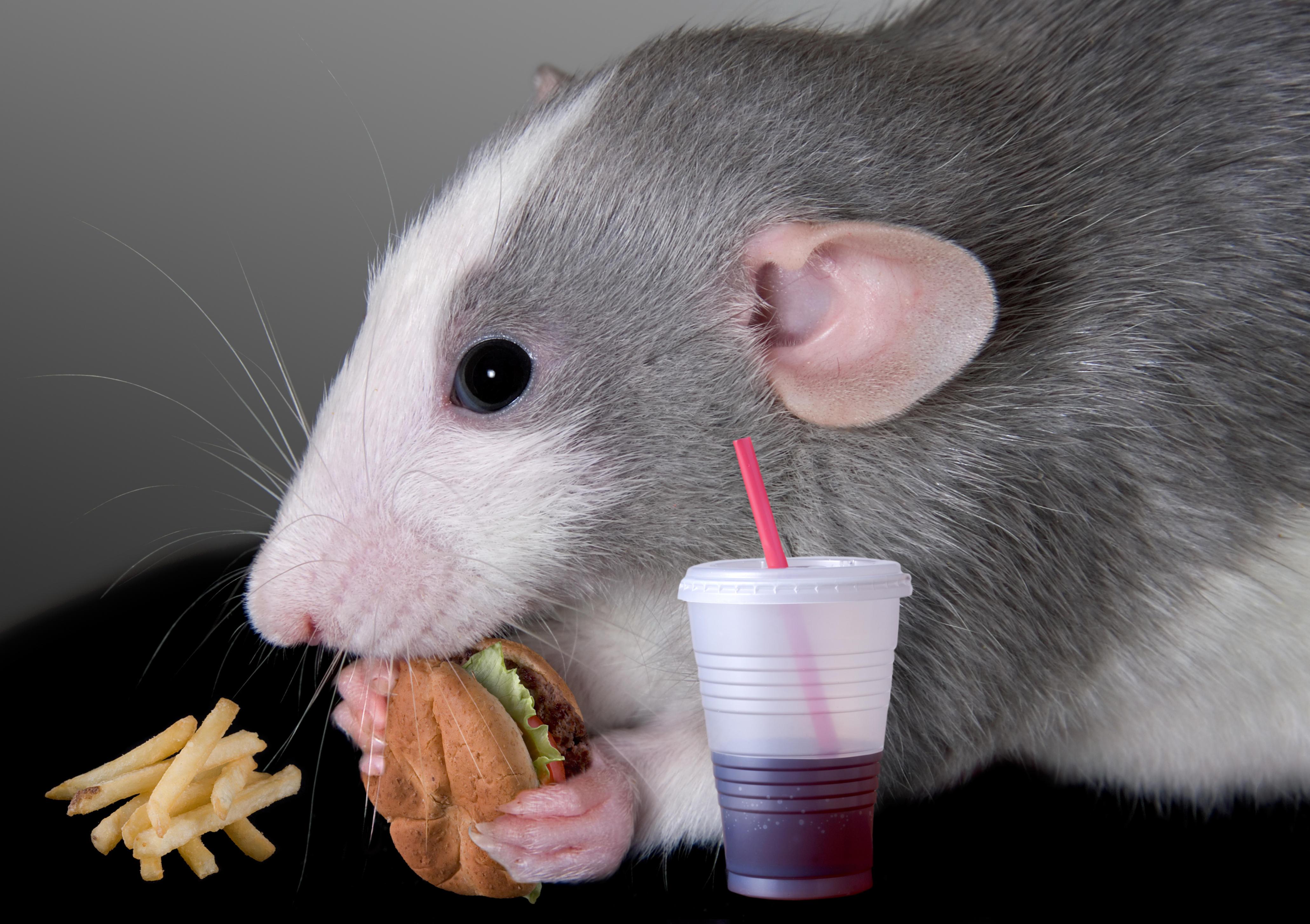Обои крыса, гамбургер, напиток, Аппетит