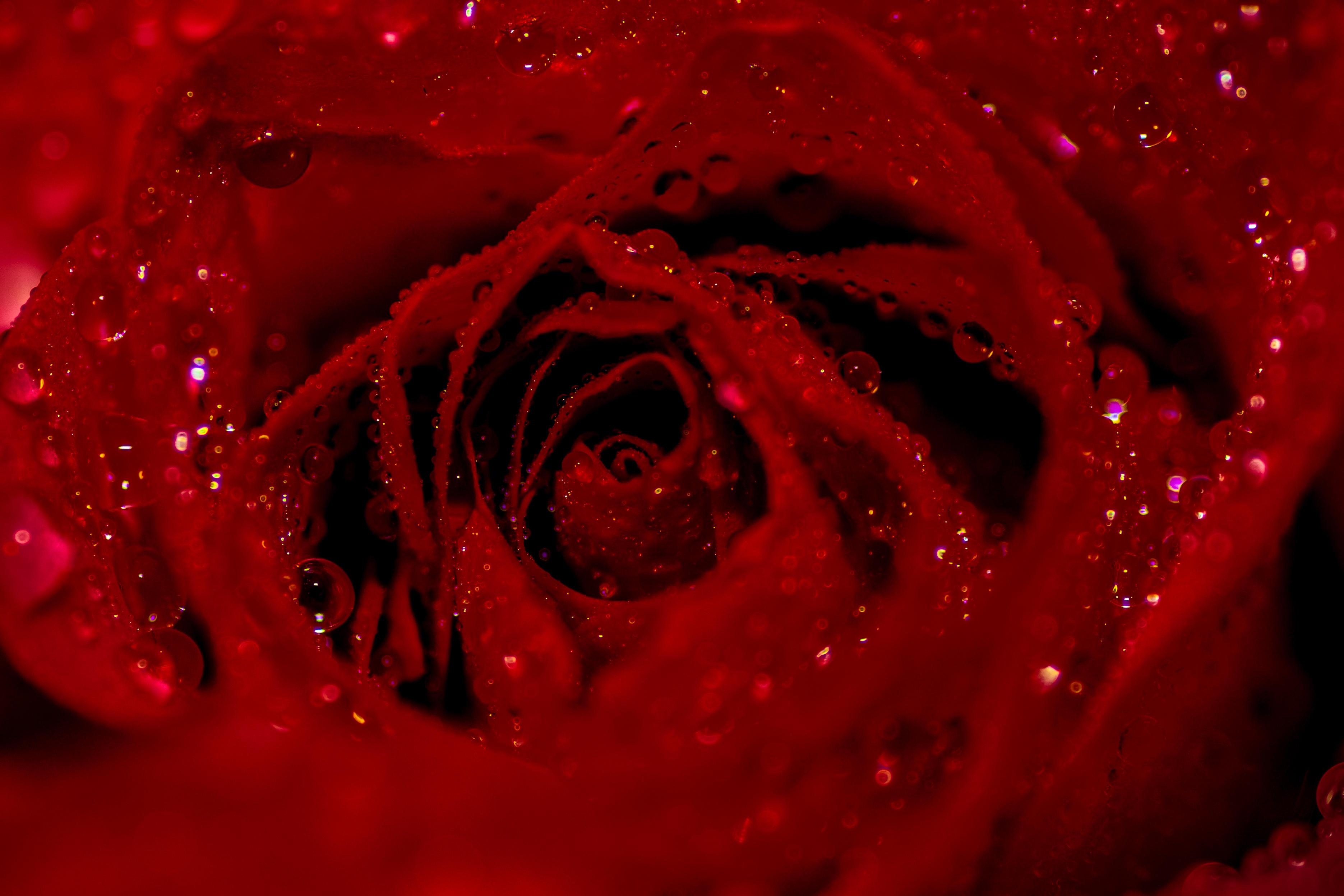Обои розы, роза, цветок, цветы