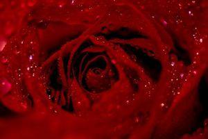 Фото бесплатно розы, роза, цветок, цветы, флора