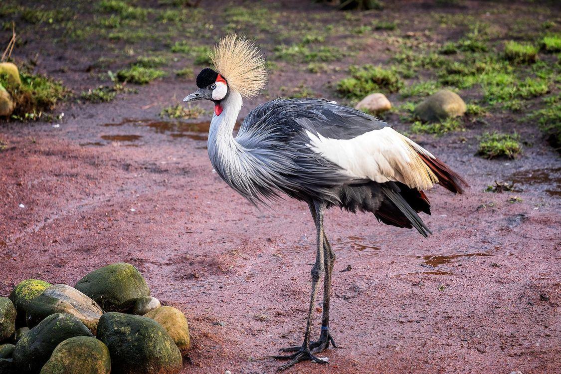 Фото бесплатно Серый журавль, птица - на рабочий стол
