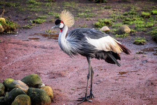 Бесплатные фото Серый журавль,птица