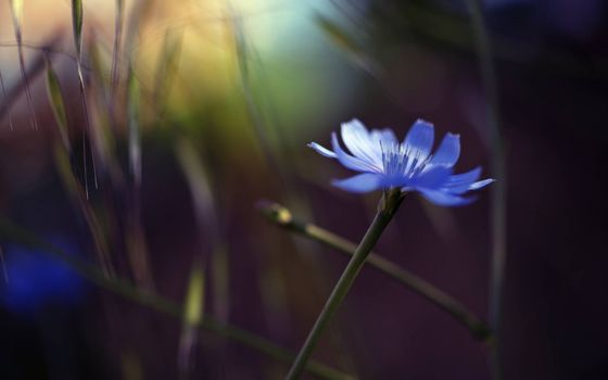 Фото бесплатно василек, лепестки, синие