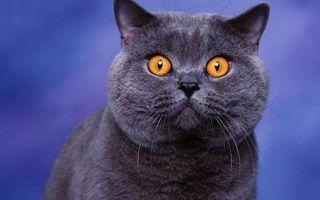 Фото бесплатно кот, британец, серый, глаза, оранжевые, шерсть