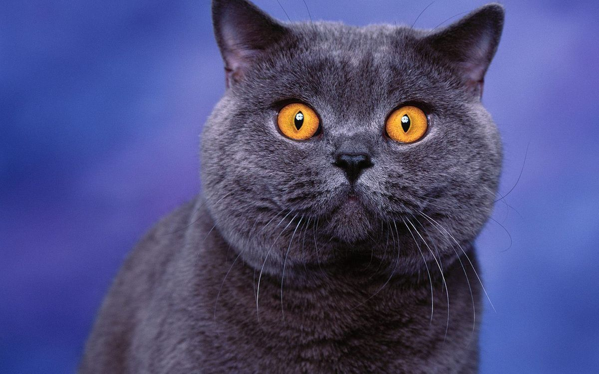 Фото бесплатно шерсть, британец, кот - на рабочий стол