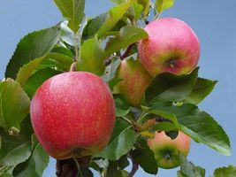 Фото бесплатно яблоки, яблоня, листья