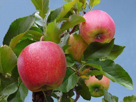 Бесплатные фото яблоки,яблоня,листья,природа