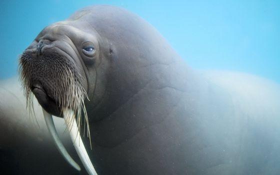 Photo free walrus, carcass, fangs
