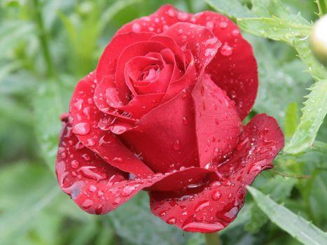 Фото бесплатно розовая роза, капли росы