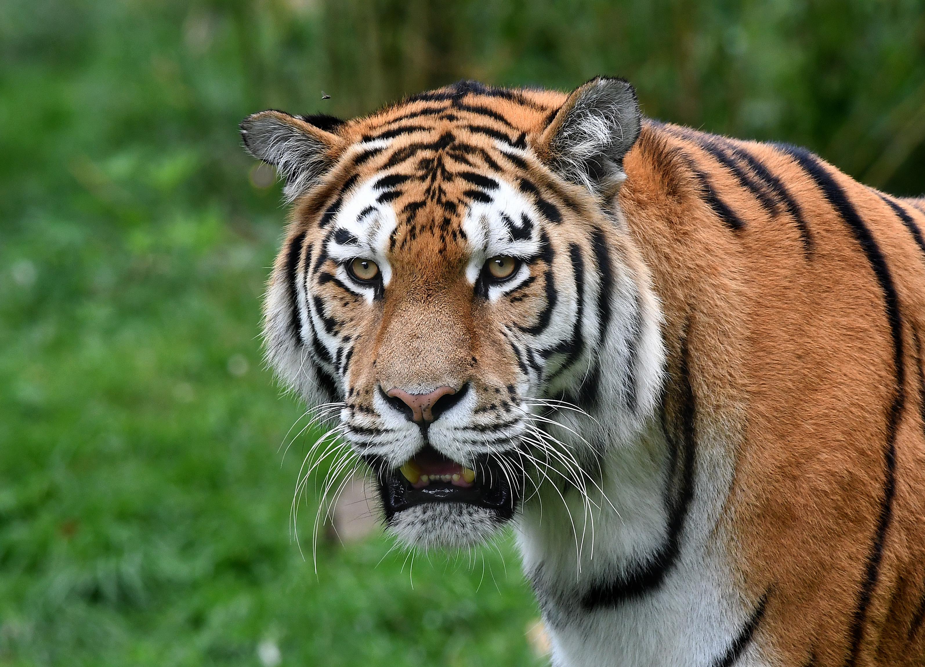 Обои тигр, хищник животное
