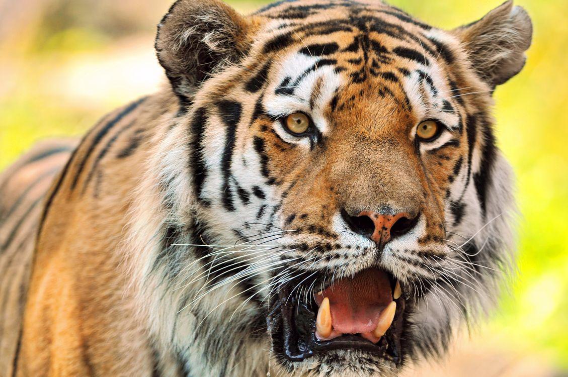 Фото бесплатно тигр, хищник, животное - на рабочий стол