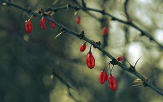 Фото бесплатно растение, ветки, шипы, ягода, красная
