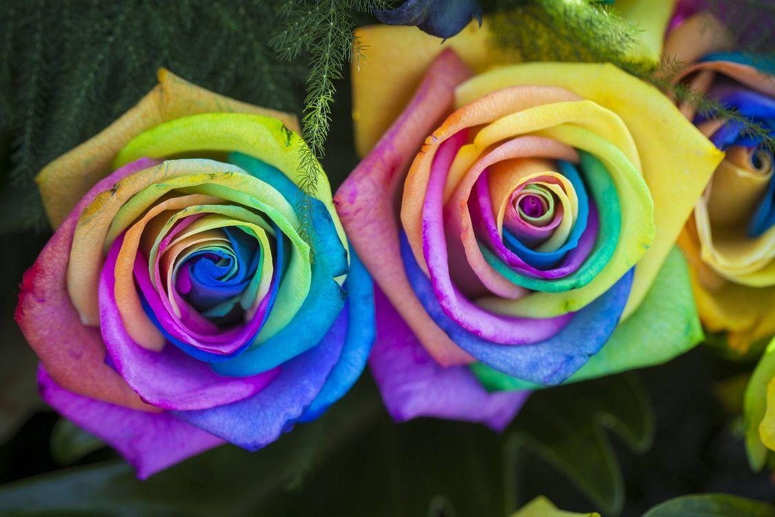 Фото бесплатно цветок, цветы, флора, роза, розы, цветы