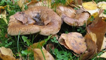 Фото бесплатно грибы, грузди, листва