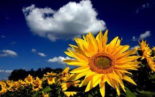 Бесплатные фото поле,подсолнухи,желтые,деревья,небо,облака