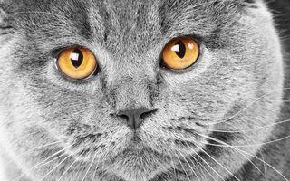 Бесплатные фото кот,британец,серый,морда,глаза,желтые
