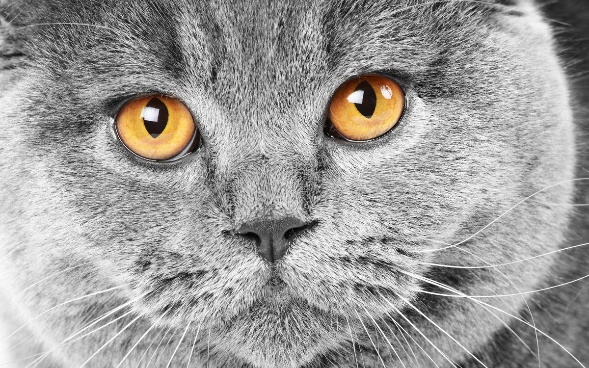 Обои кот, британец, серый, морда, глаза, желтые на телефон | картинки кошки - скачать