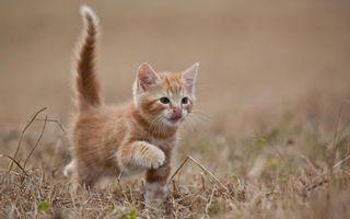 Заставки котенок,рыжий,морда,язык,лапы,хвост,шерсть