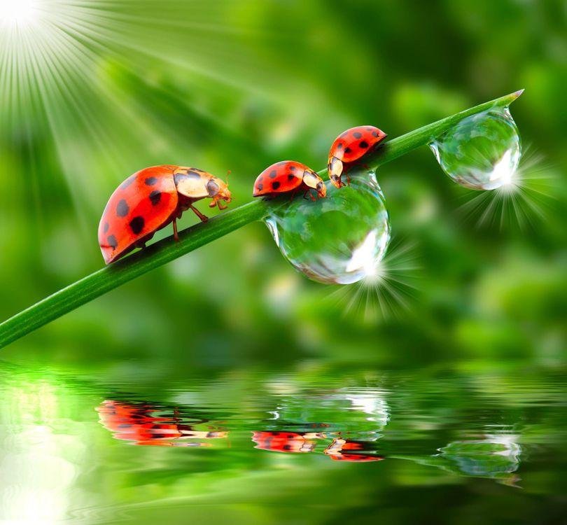 Фото бесплатно божьи коровки, солнце, вода, капли, зелень, лето, божья коровка, жук, жуки, макро, насекомые, роса, насекомые