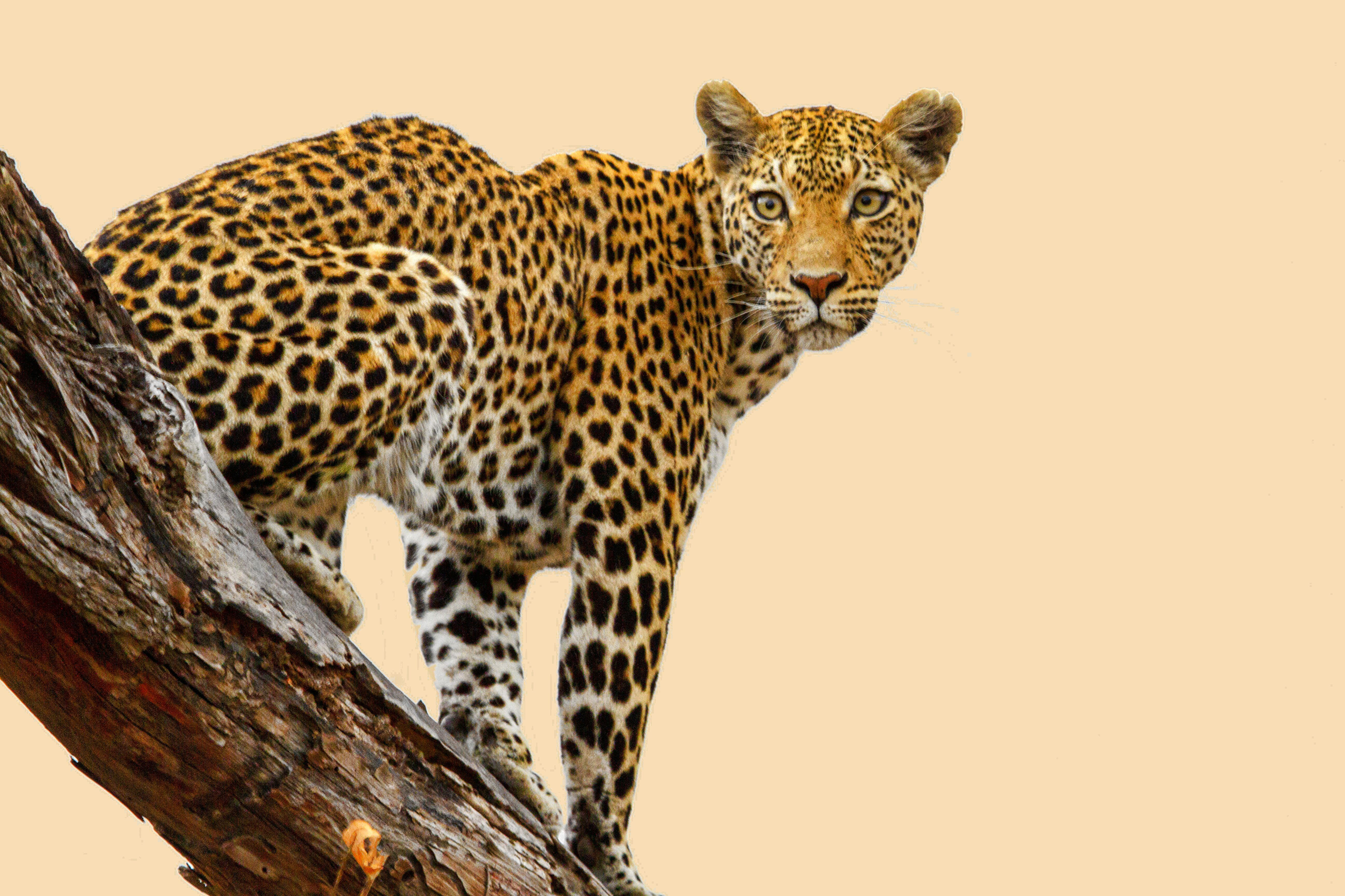 обои Leopard, леопард, хищник, животное картинки фото