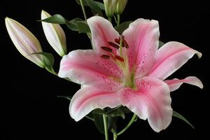 Фото бесплатно лилия, лилии, цветок