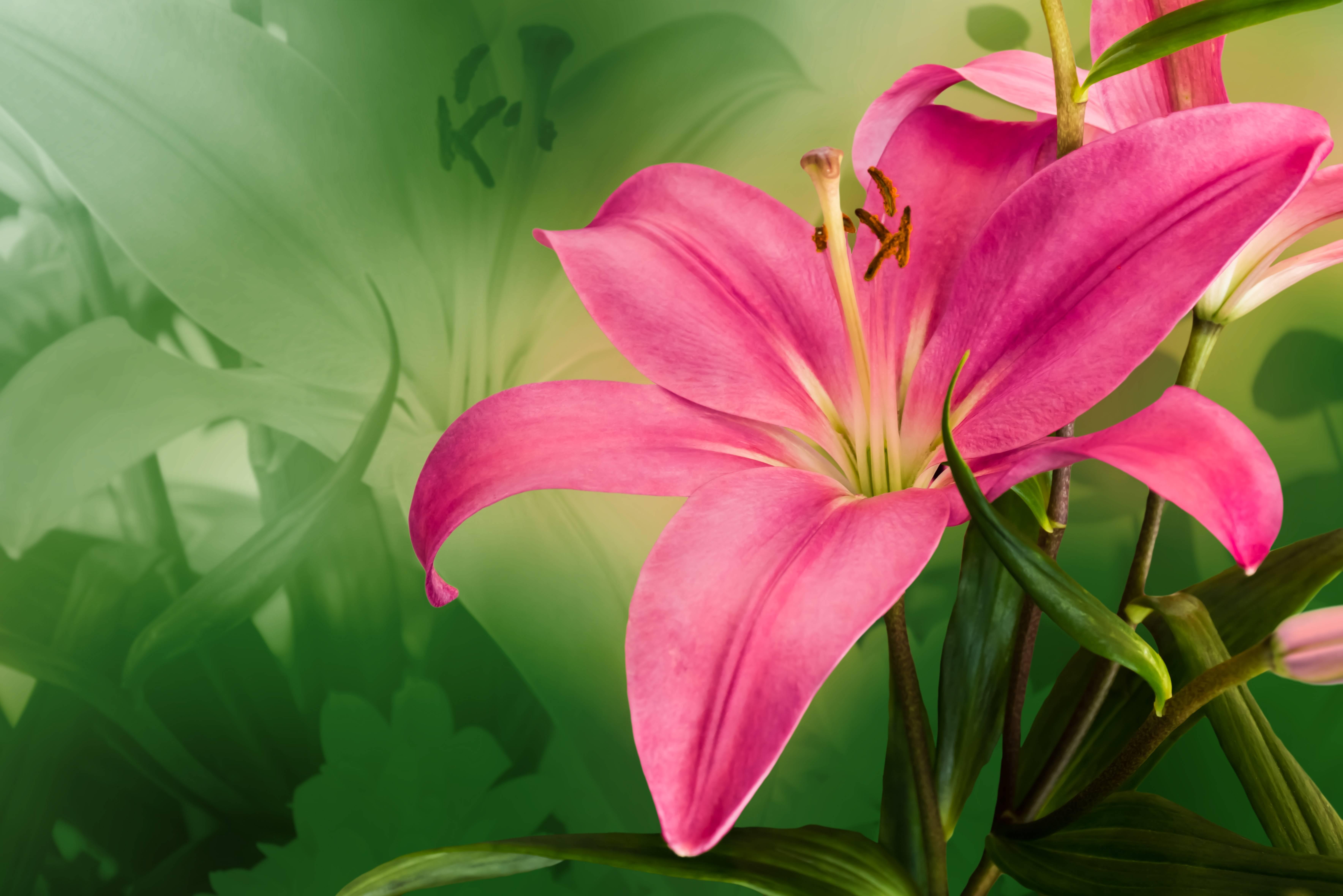 лилия, лилии, цветок