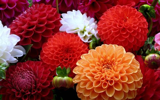 Photo free chrysanthemums, petals, colored