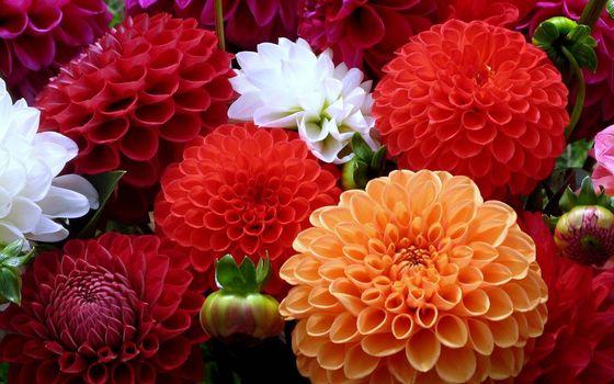 Фото бесплатно хризантемы, лепестки, цветные