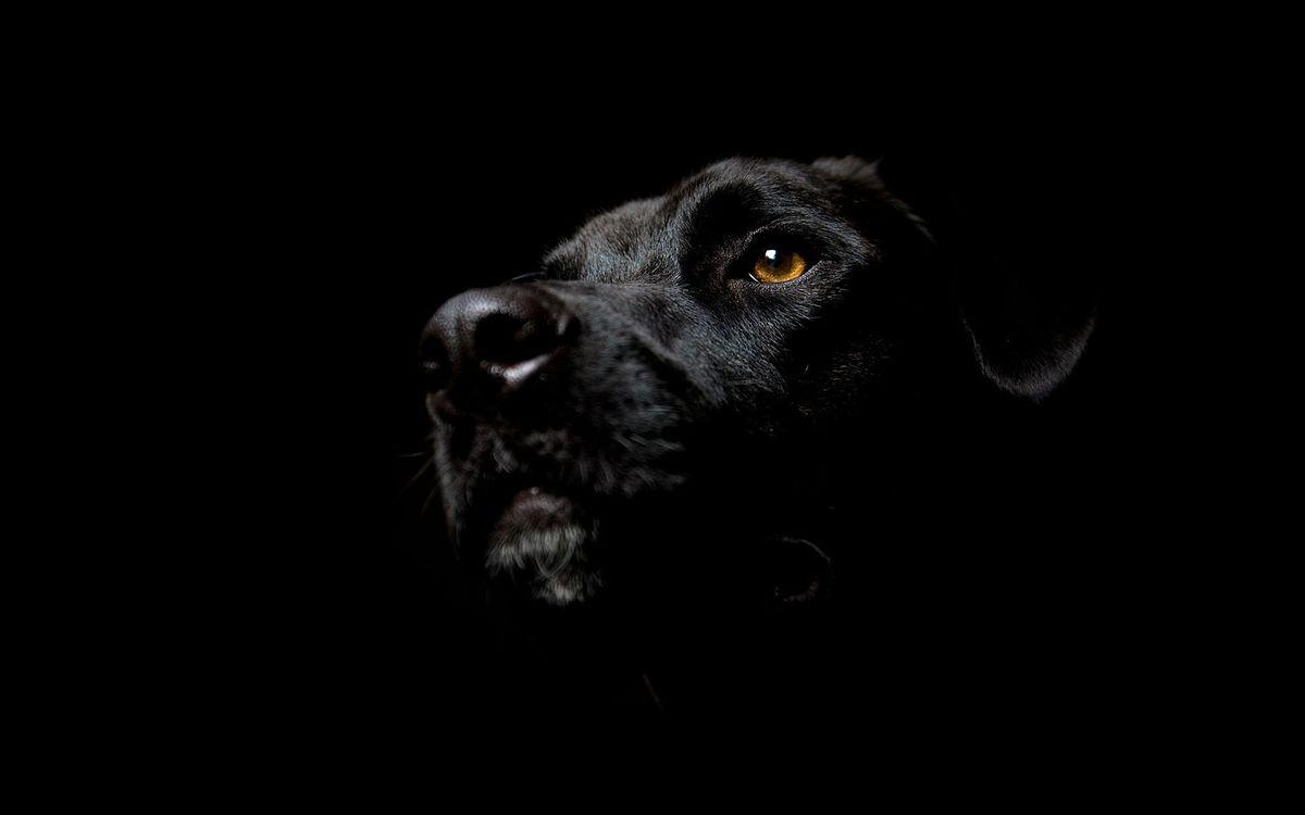 Обои пес, черный, морда картинки на телефон