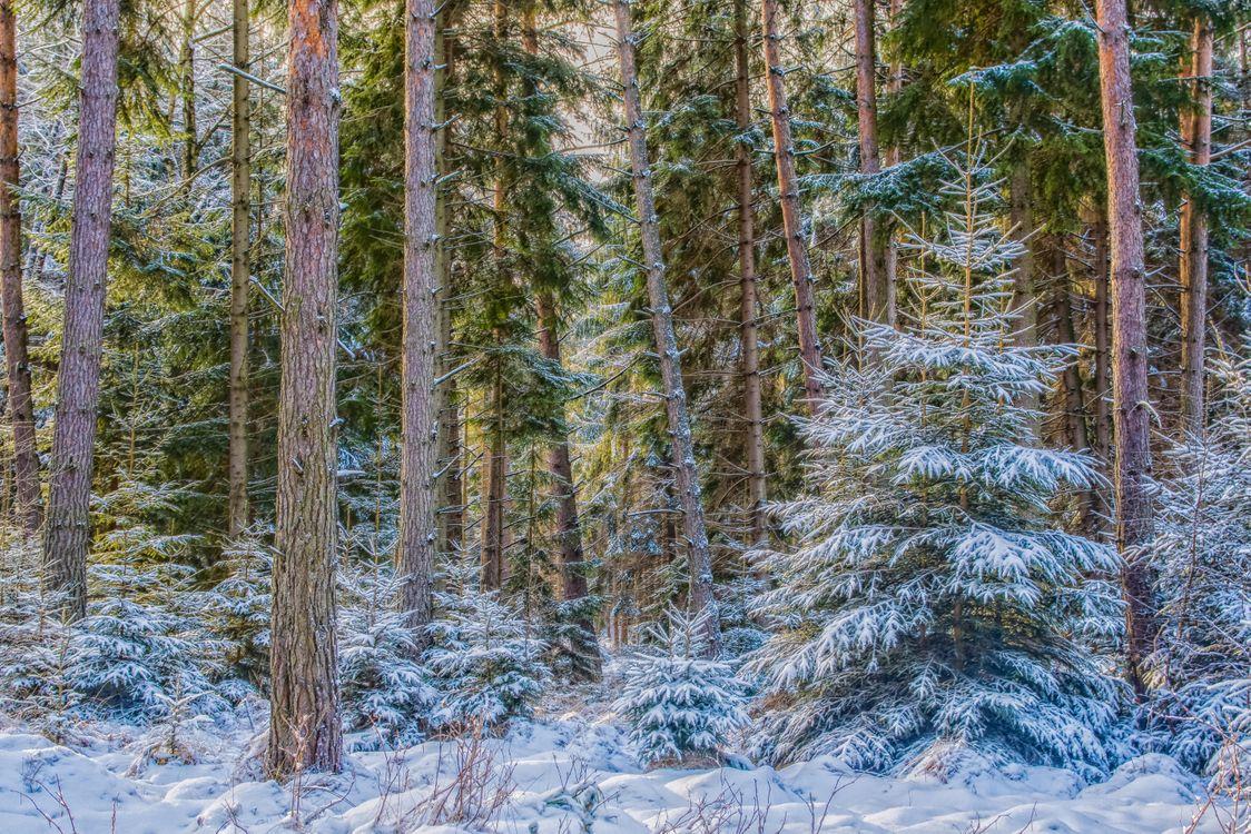 Фото бесплатно зима, лес, деревья, ели, пейзаж, пейзажи