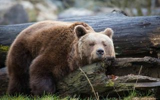 Бесплатные фото медведь,бурый,морда,лапы,шерсть,коряги,бревна