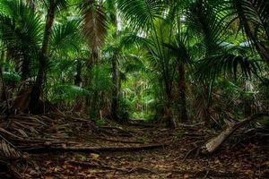 Бесплатные фото Австралия,Новый Южный Уэльс,Остров Лорд-Хау,лес,пальмы,деревья,природа