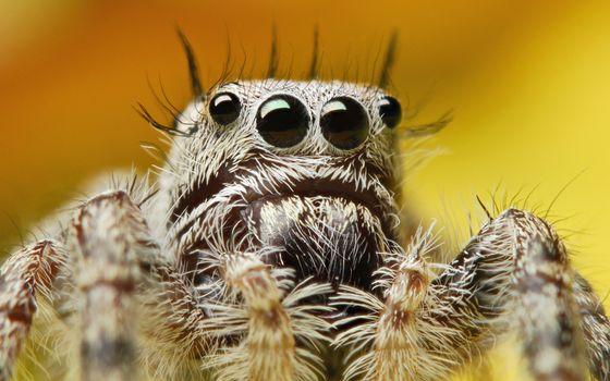 Бесплатные фото паук,морда,глаза,лапы,волосы