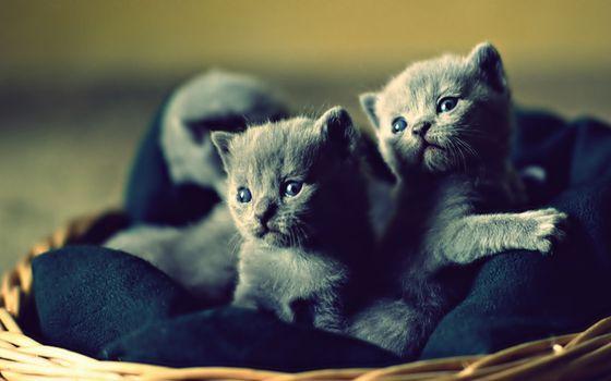 Фото бесплатно котята, маленькие, британские