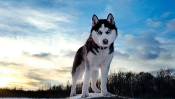 Фото бесплатно хаски, лес, собака, снег