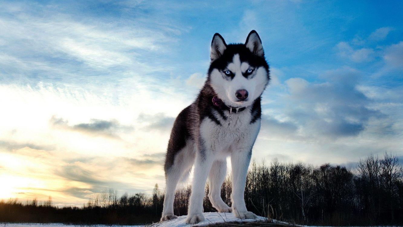 Фото бесплатно хаски, лес, собака, снег, собаки