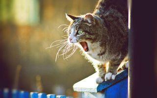 Фото бесплатно кот, зевает, морда