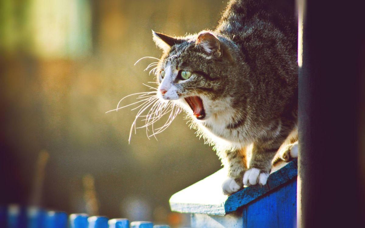 Фото бесплатно кот, зевает, морда, лапы, шерсть, кошки