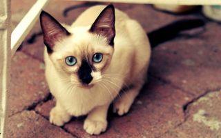 Фото бесплатно кошка, сиамская, глаза