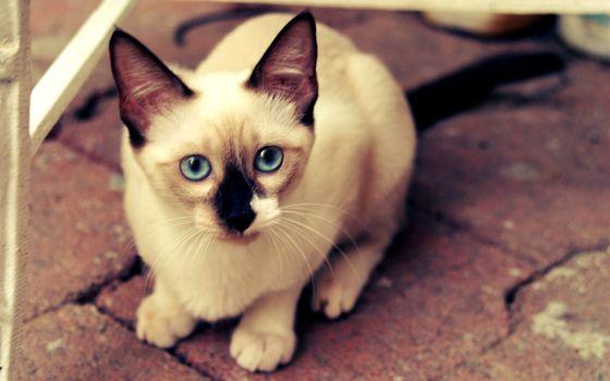 Фото бесплатно кошка, сиамская, глаза, голубые, морда, шерсть