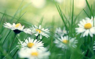 Бесплатные фото ромашки,лепестки,белые,трава,зеленая
