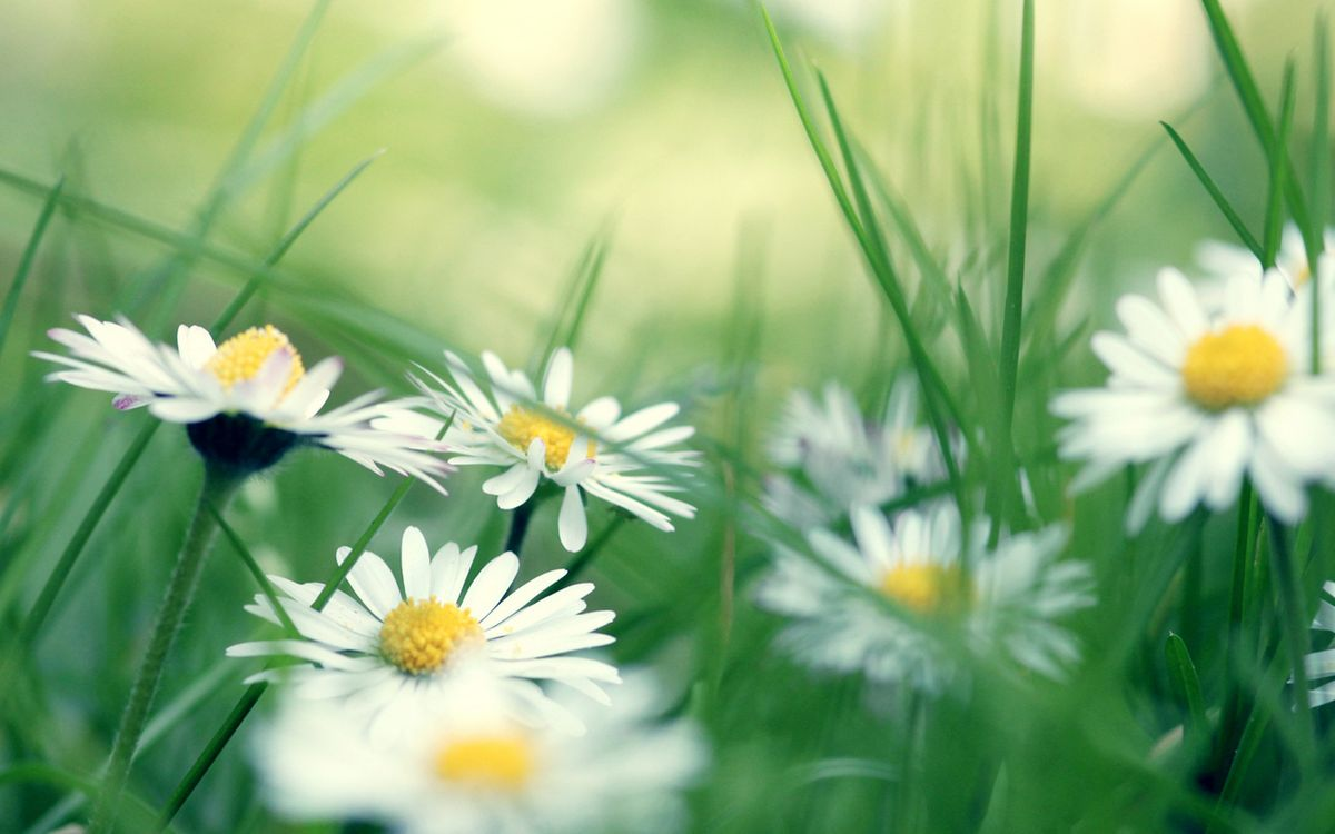Фото бесплатно ромашки, лепестки, белые, трава, зеленая, цветы