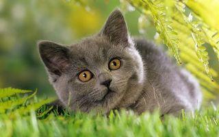 Бесплатные фото кошка,британец,трава,смотрит