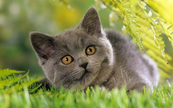 Фото бесплатно кошка, британец, трава