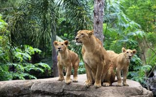 Бесплатные фото львица,львята,хищники,семья,камень,деревья