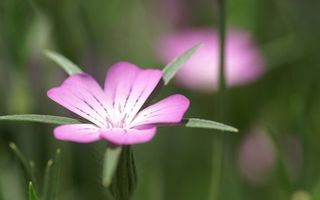 Бесплатные фото цветочек,лепестки,розовые,пестики,листья,зеленые