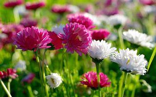 Заставки астры, лепестки, розовые, белые, стебли, листья, зеленые